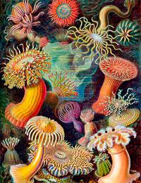 Litografia de Kunstformen der Natur (Ernst Haeckel)